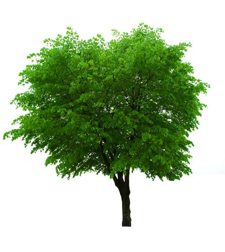 Játra- růst stromu v nás