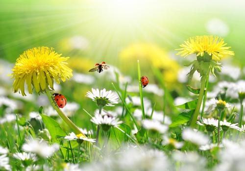 Pampeliška plevel pro naše zdraví