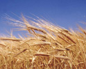alergie a toxická pšenice