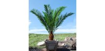 big 148457307275 umela palma phoenix palm head 200cm