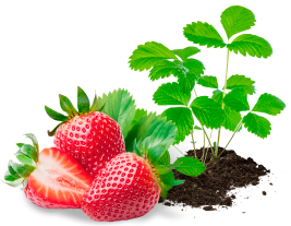 Popis odrůd jahod