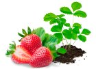 Sazenice jahodníku - zelené