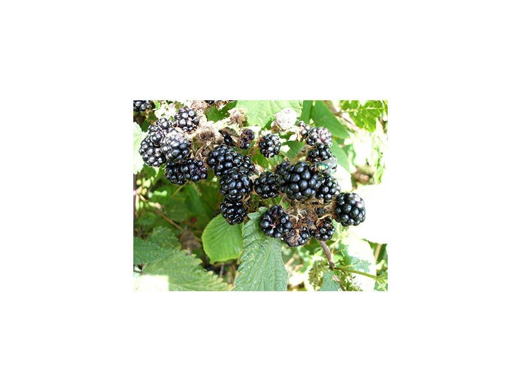 329 rubus fruticosus cacanska beztrna ostruzina beztrna