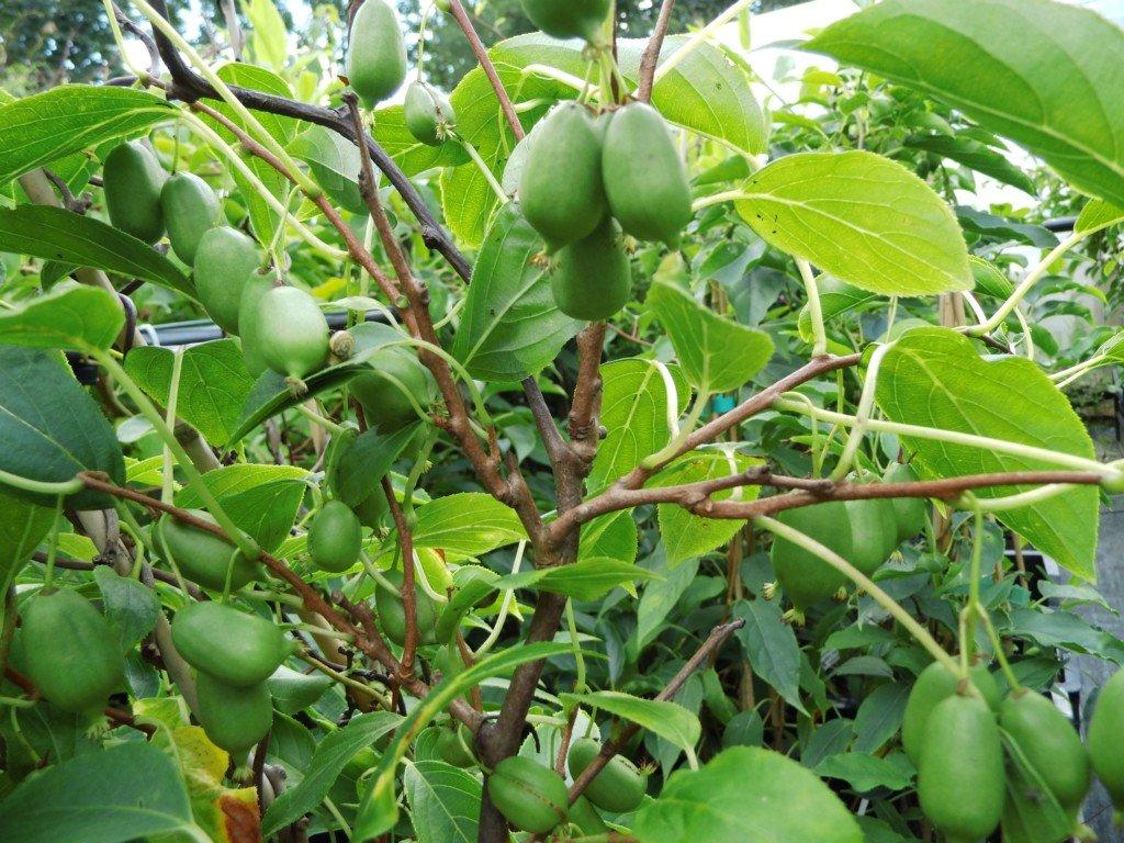 Actinidia arguta Issai Frucht13