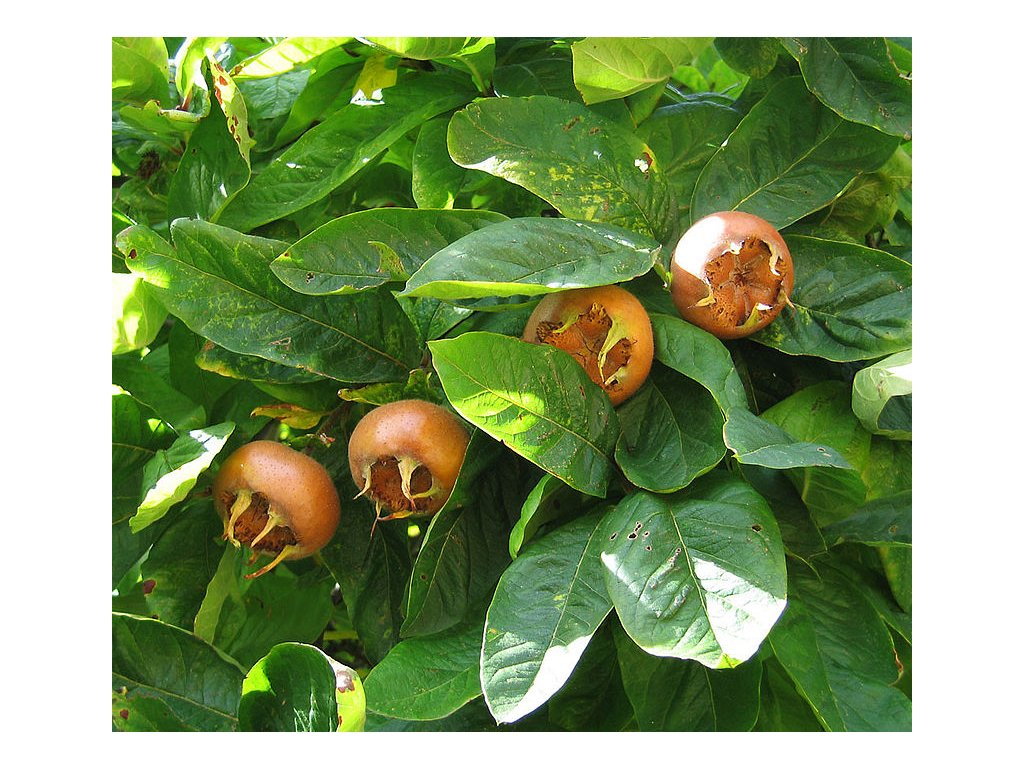 800px Medlar pomes and leaves