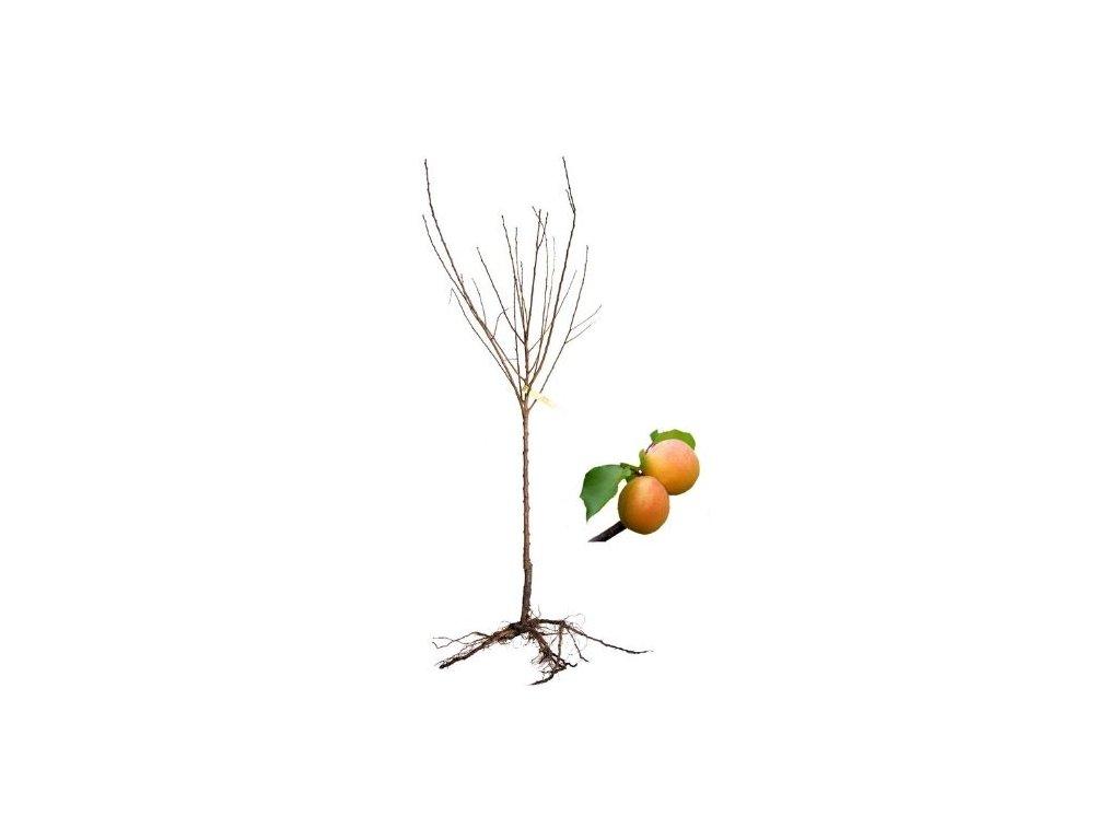 meruňka Perla