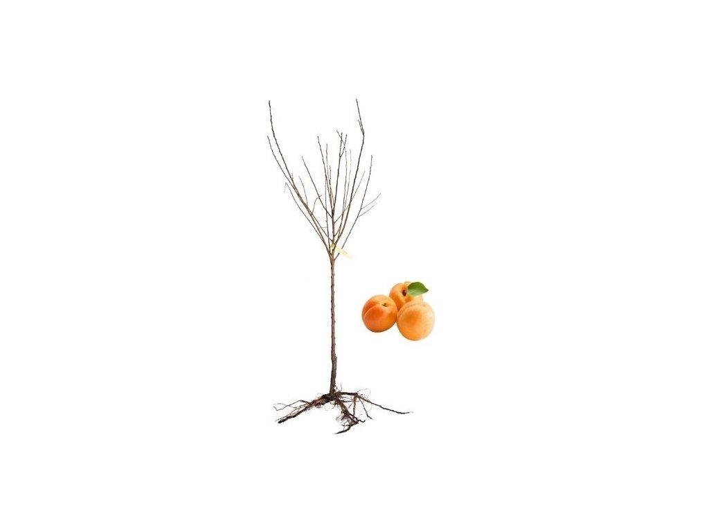 meruňka Maďarská