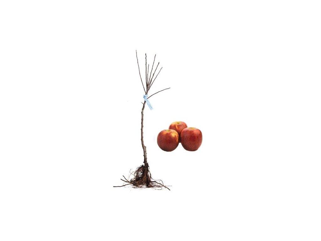jabloň Melrose
