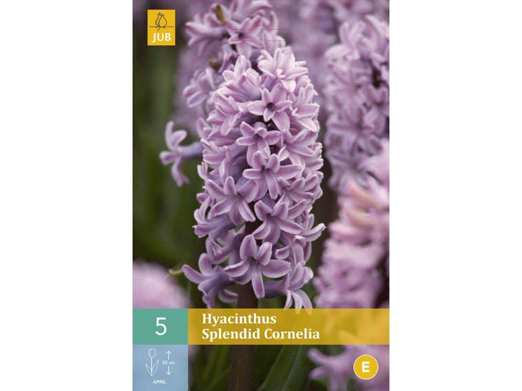 hyacint splendid cornelia