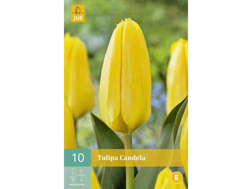 tulipán candela