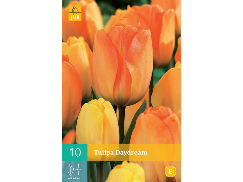 tulipán daydream