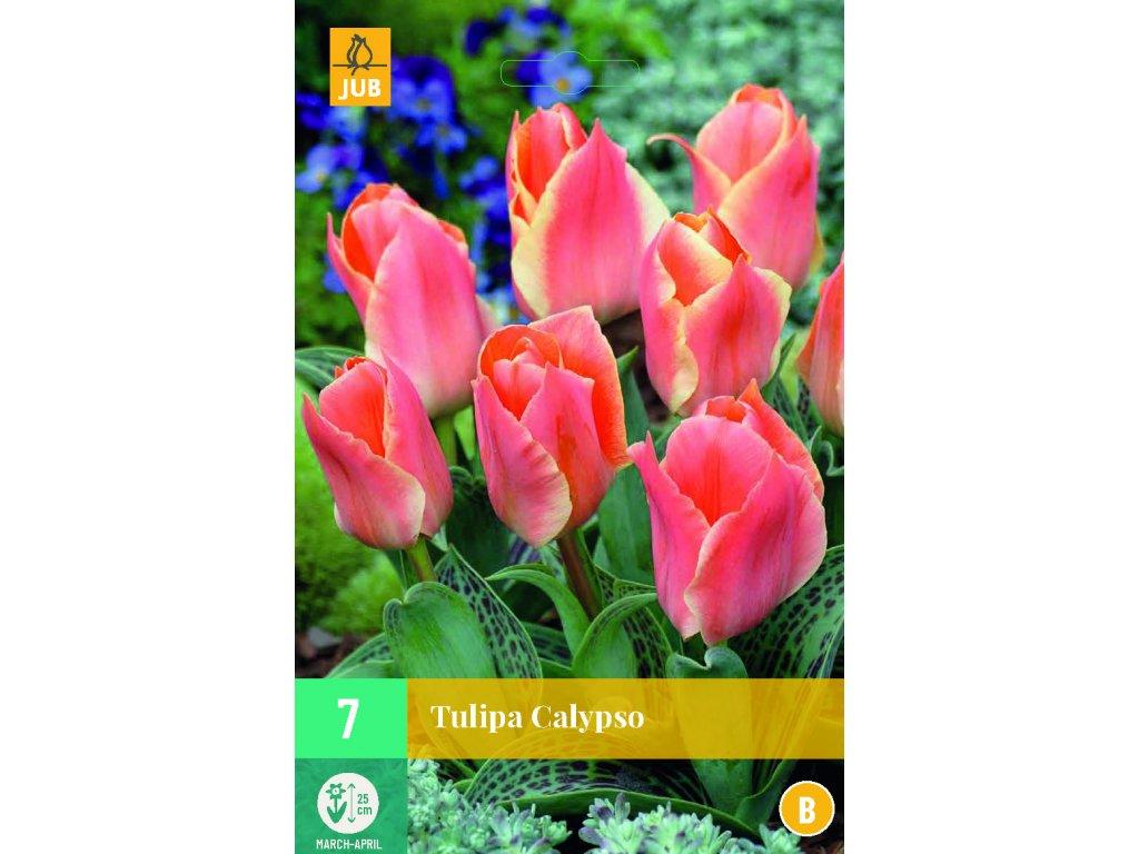 tulipán calypso