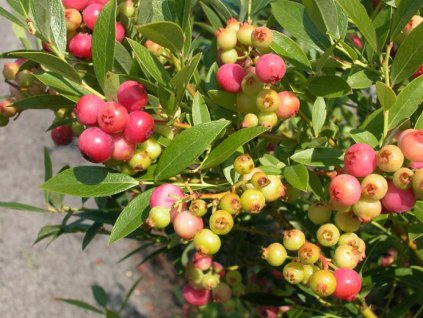 vaccinium pink lemonade 9045 Optimized