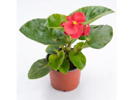 begonia k9