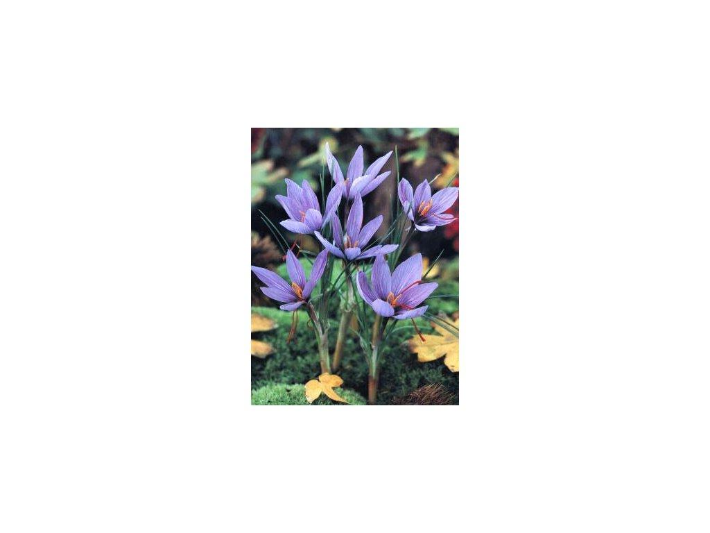 Crocus sativus (10 ks) - PODZIMNÍ  Šafrán setý
