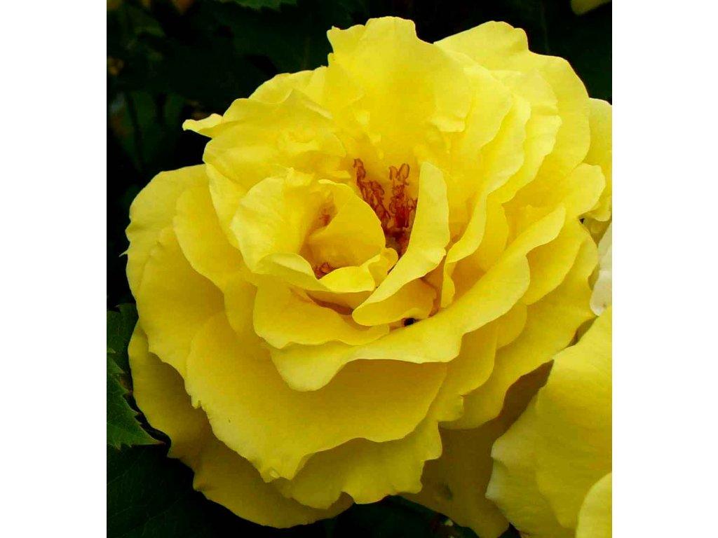 Rosa Golden Delight - polyantka (sadová, mnohokvětá)  Růže mnohokvětá Golden Delight (sadová)