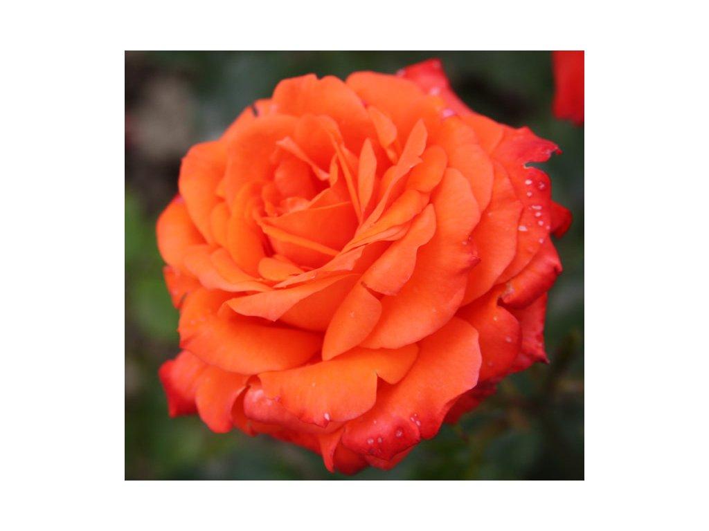 Rosa sunrise - pnoucí  Růže pnoucí sunrise