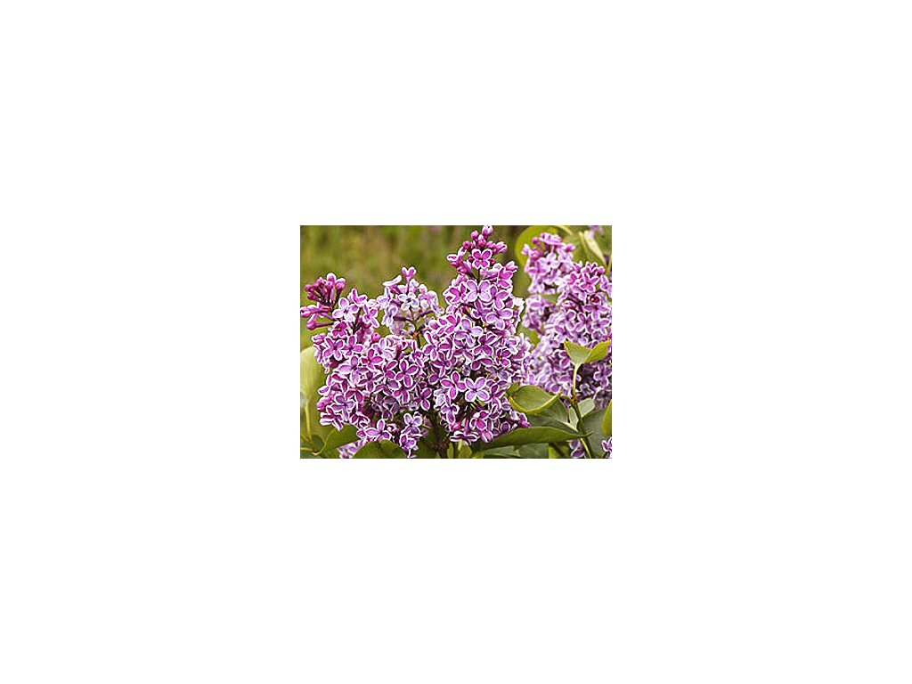 Syringa vulgaris ´Sensation´  Šeřík obecný ´Sensation´