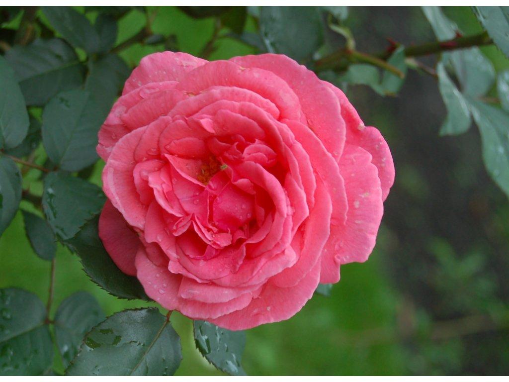 Rosa Pariser charme - velkokvětá  Růže velkokvětá Pariser charme