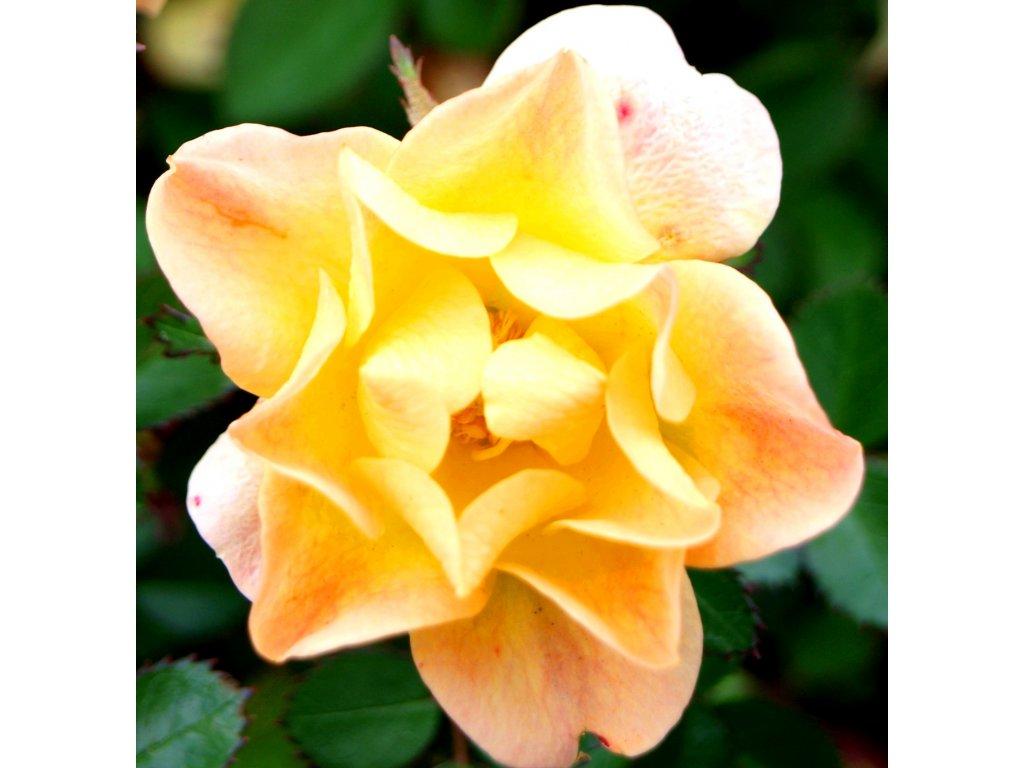 Rosa The fairy Žlutá - pokryvná  Růže The fairy Žlutá - pokryvná