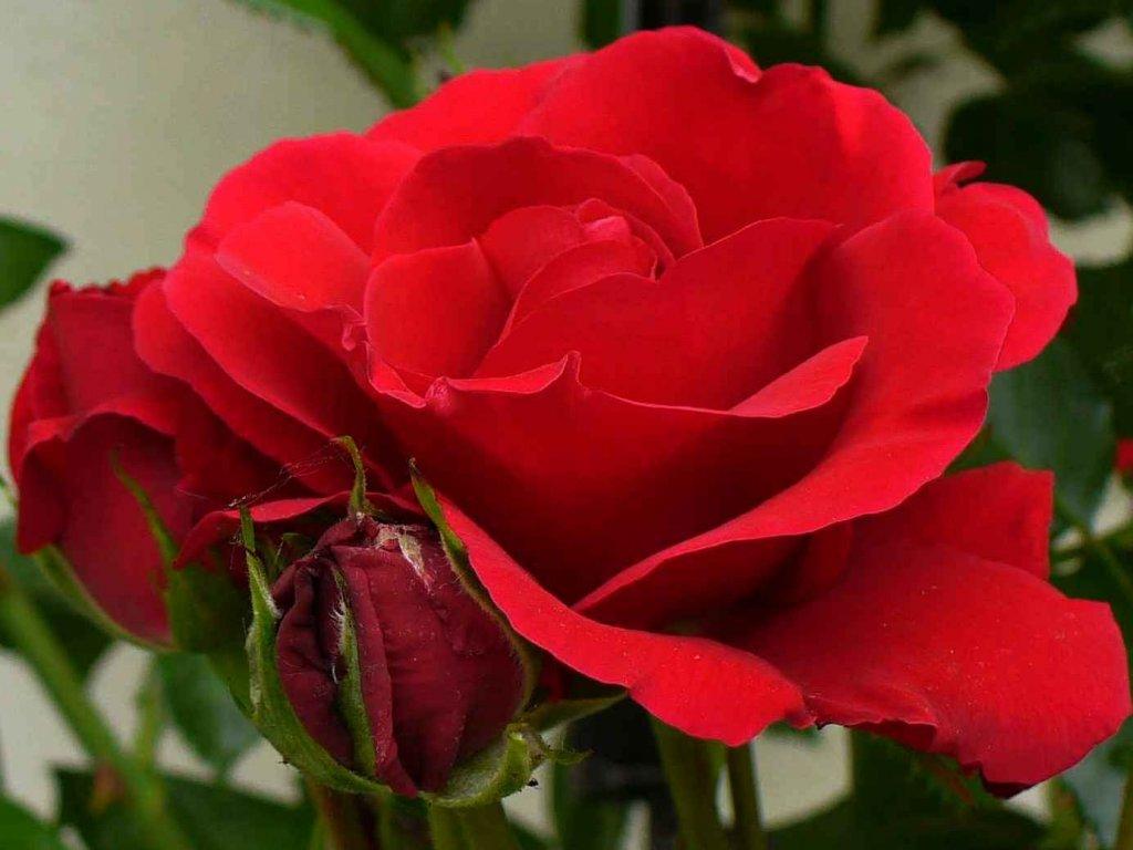 Rosa Kormun pnoucí  Růže Kormun