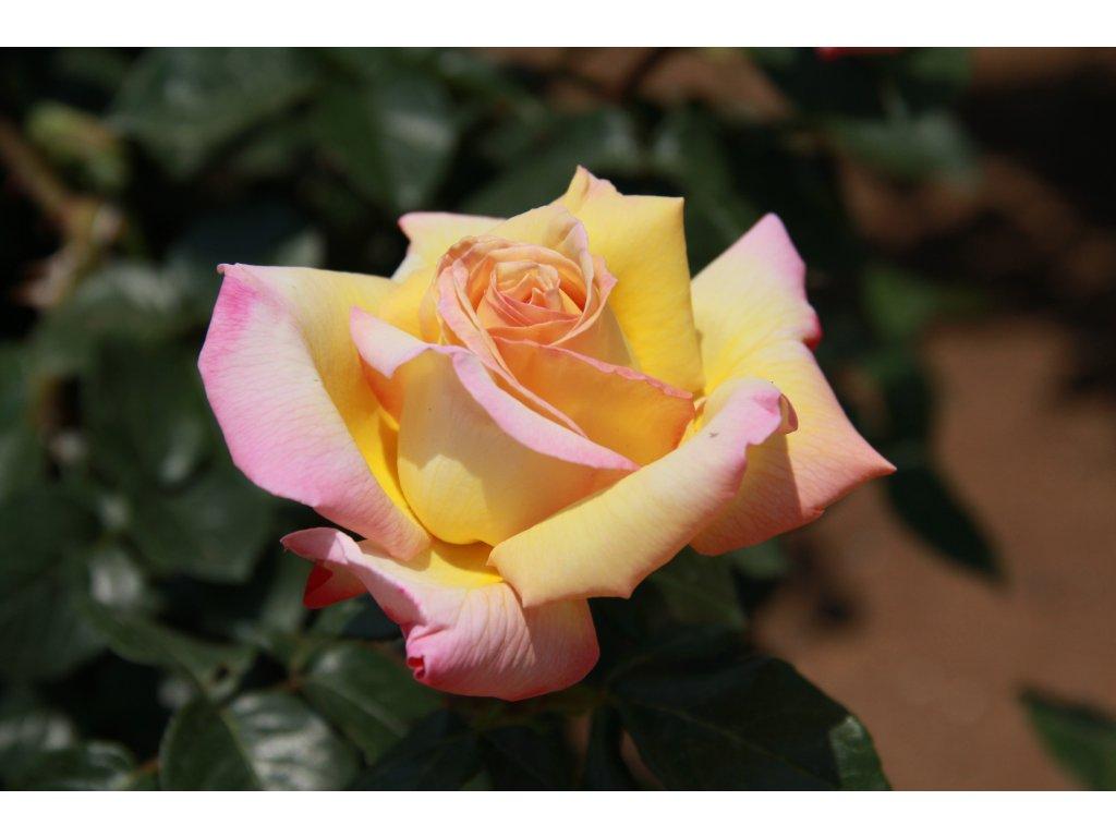 Rosa peace - velkokvětá  Růže velkokvětá peace