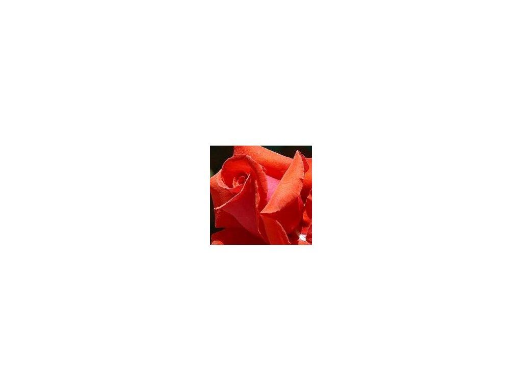 Rosa Comet velkokvětá  Růže Comet velkokvětá