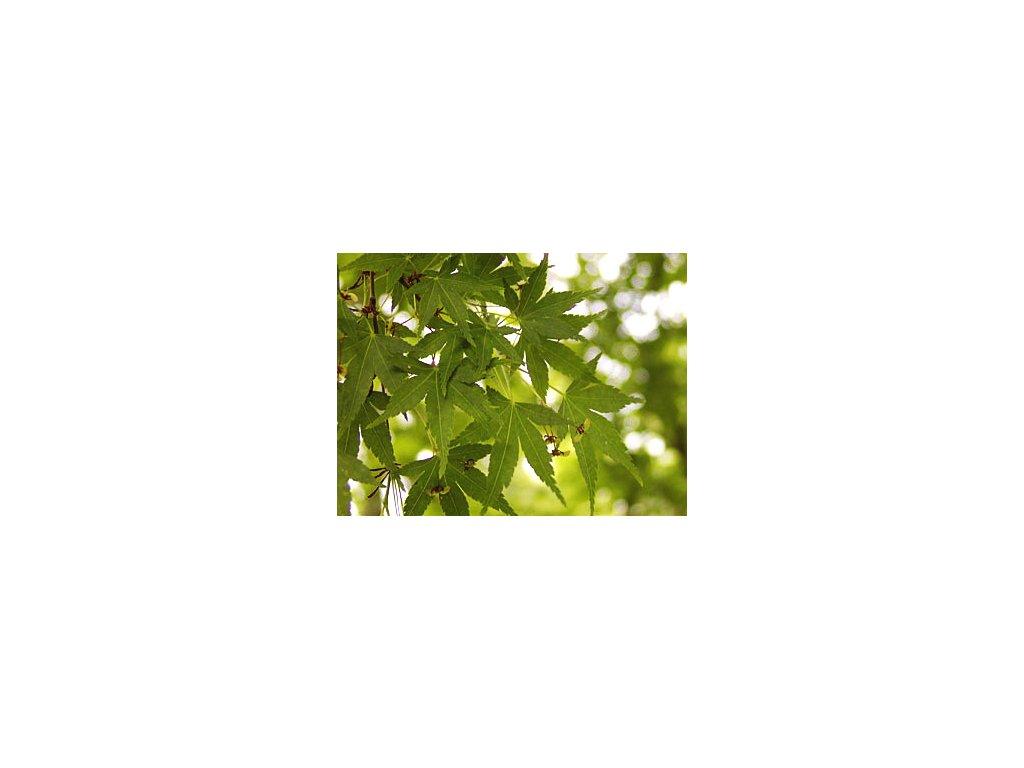 Acer palmatum  Javor dlanitolistý