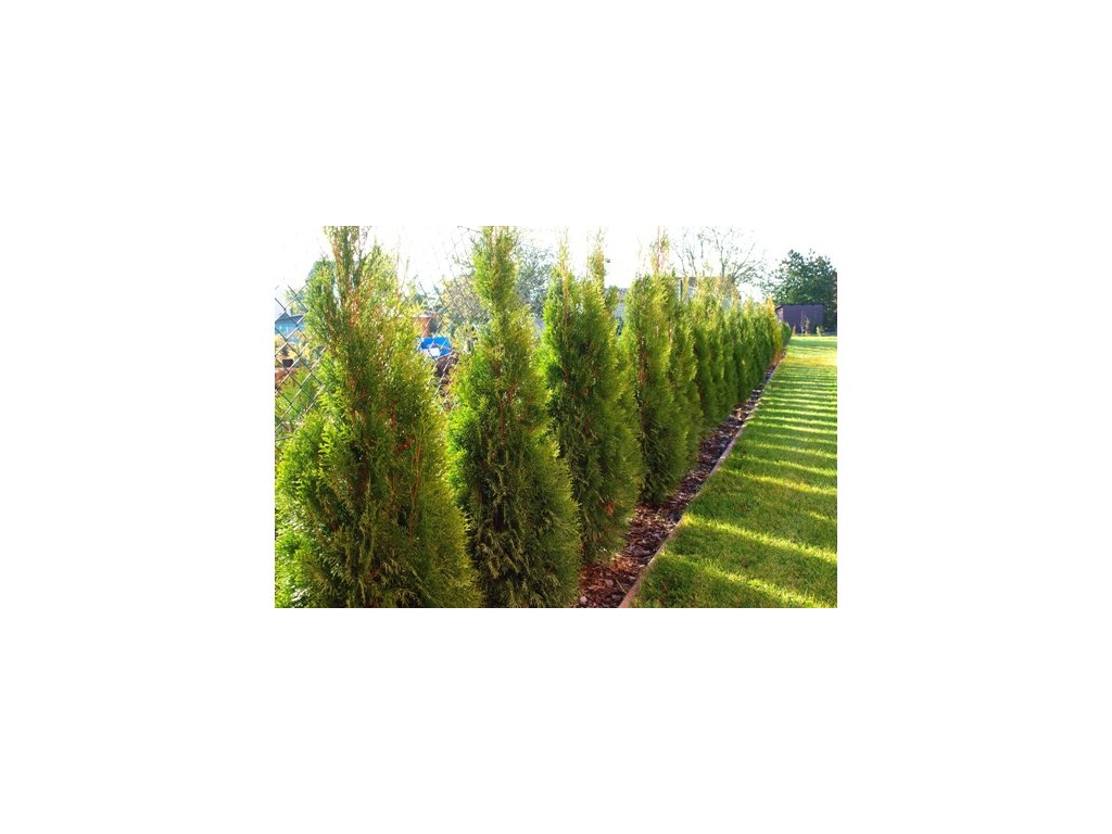 Thuja occidentalis ´Smaragd´ 40 - 60 cm  Zerav západní ´Smaragd´ (Túje smaragdová / Tuja Smaragd / Thuja Smaragd)