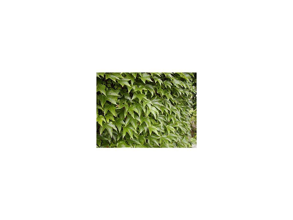 Parthenocissus tricuspidata  Přísavník trojcípý 'Veitchii'
