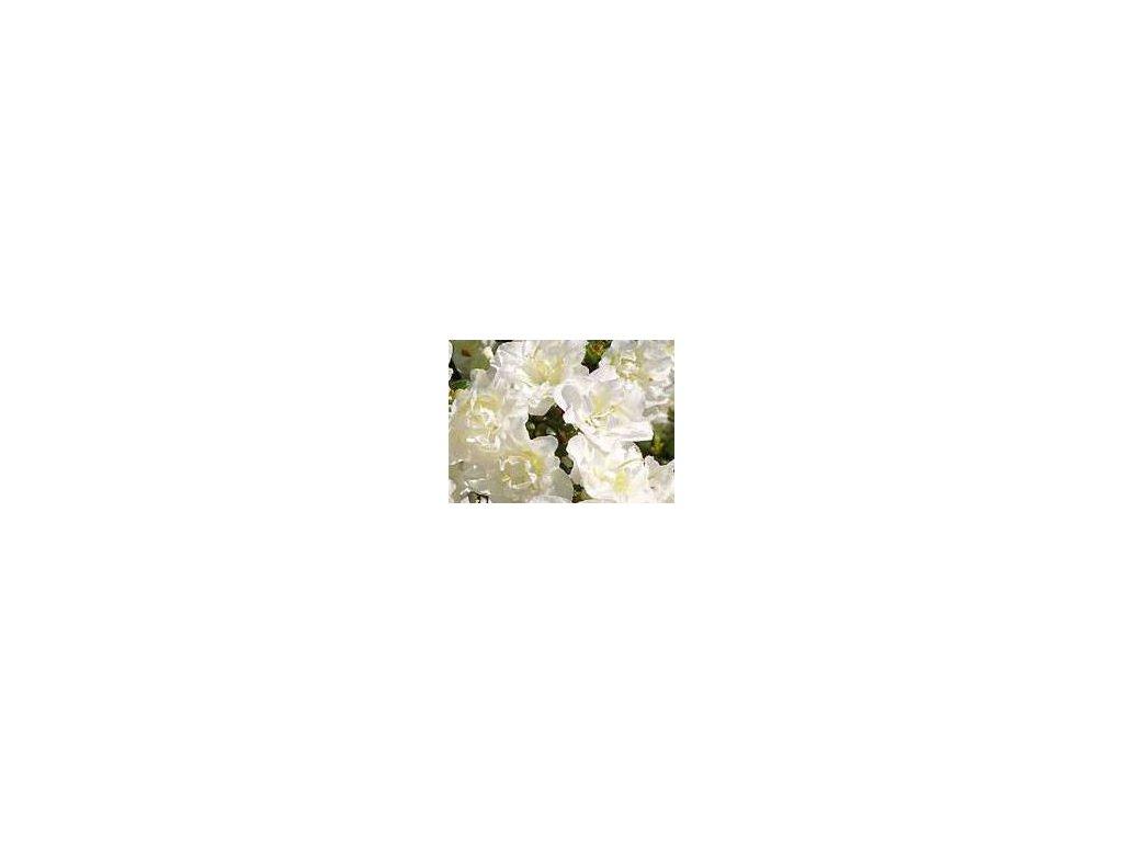 Azalea japonica Schneeperle - japonská azalka, zakrslá 20 - 30 cm  Japonská azalka Schneeperle (Rhododendron obtusum)