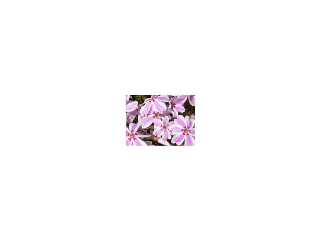 Phlox subulata ´Candy Stripes´  Plamenka šídlovitá ´Candy Stripes´