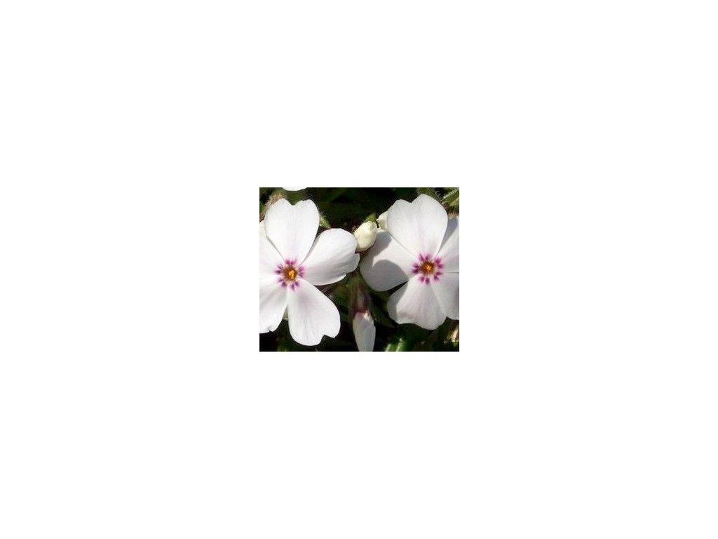 Phlox subulata ´Amazing Grace´  Plamenka šídlovitá ´Amazing Grace´