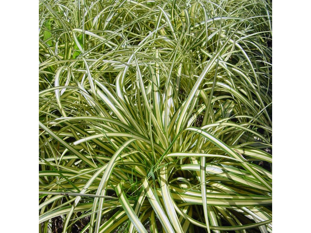 Carex ornithopoda 'Variegata'  Ostřice  ornithopoda 'Variegata'