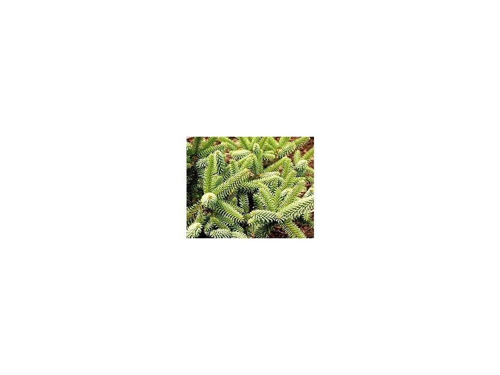 Abies pinsapo ´Kelleriis´  Jedle španělská ´Kelleriis´
