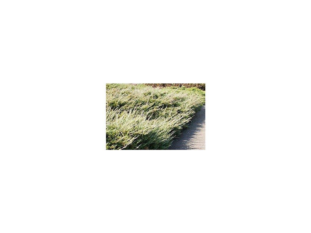 Juniperus horizontalis ´Hughes´  Jalovec polehlý ´Hughes´