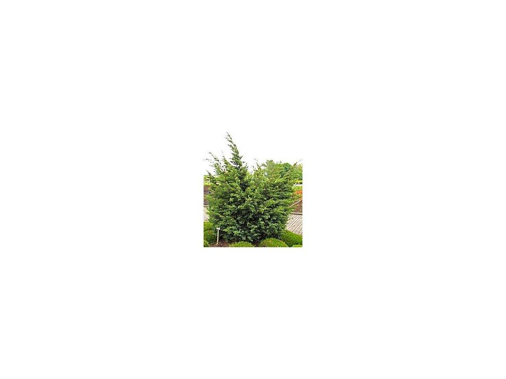 Juniperus chinensis 'Juniperus chinensis ´Blaauw´  Jalovec čínský Juniperus chinensis ´Blaauw´