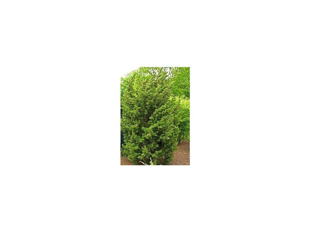 Juniperus chinensis 'Monarch'  Jalovec čínský 'Monarch'