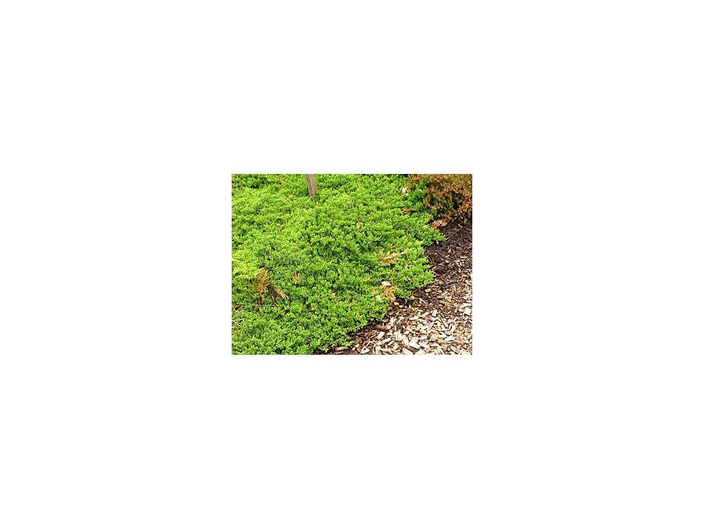 Juniperus procumbens ´Nana´  Jalovec položený 'Nana'