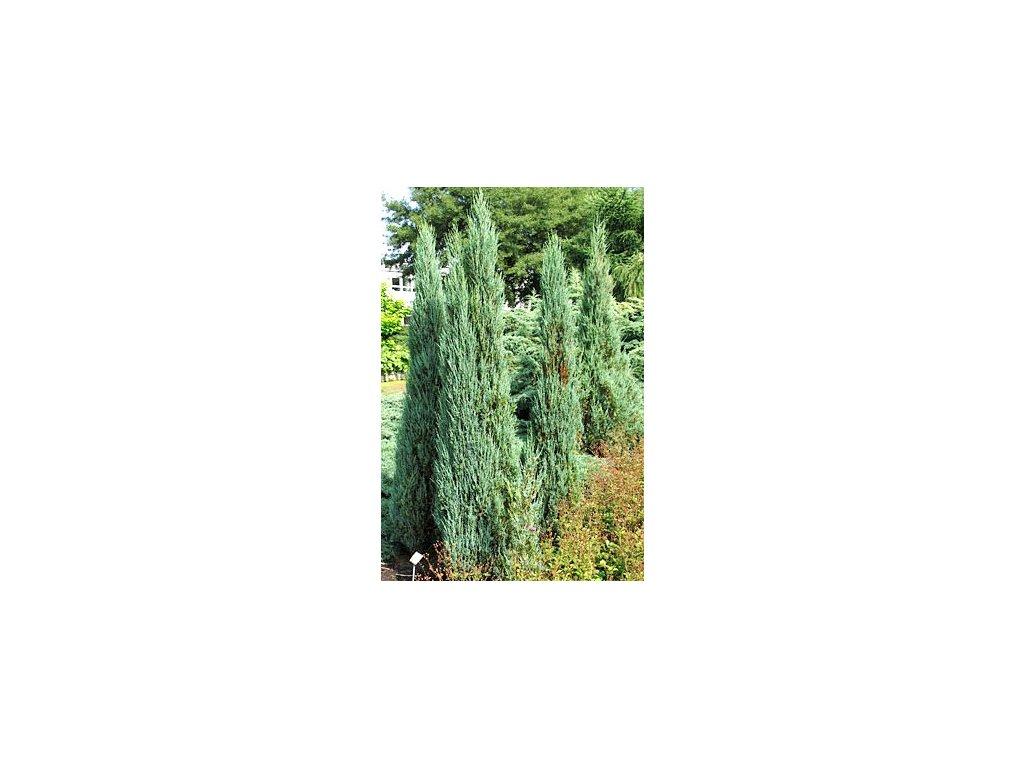 Juniperus scopulorum 'Blue Arrow'  Jalovec skalní 'Blue Arrow'