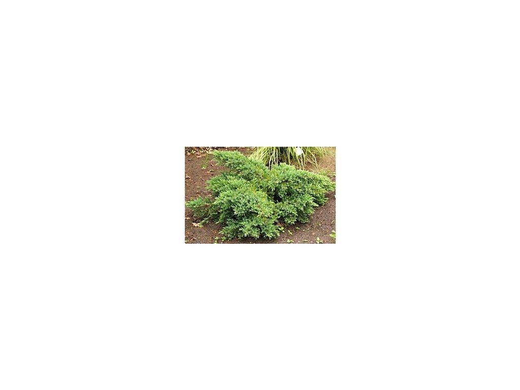 Juniperus squamata ´Holger´  Jalovec stěsnaný ´Holger´