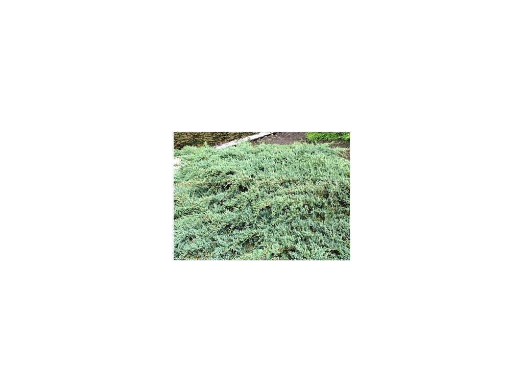 Juniperus virginiana ´Grey Owl´  Jalovec viržinský ´Grey Owl´