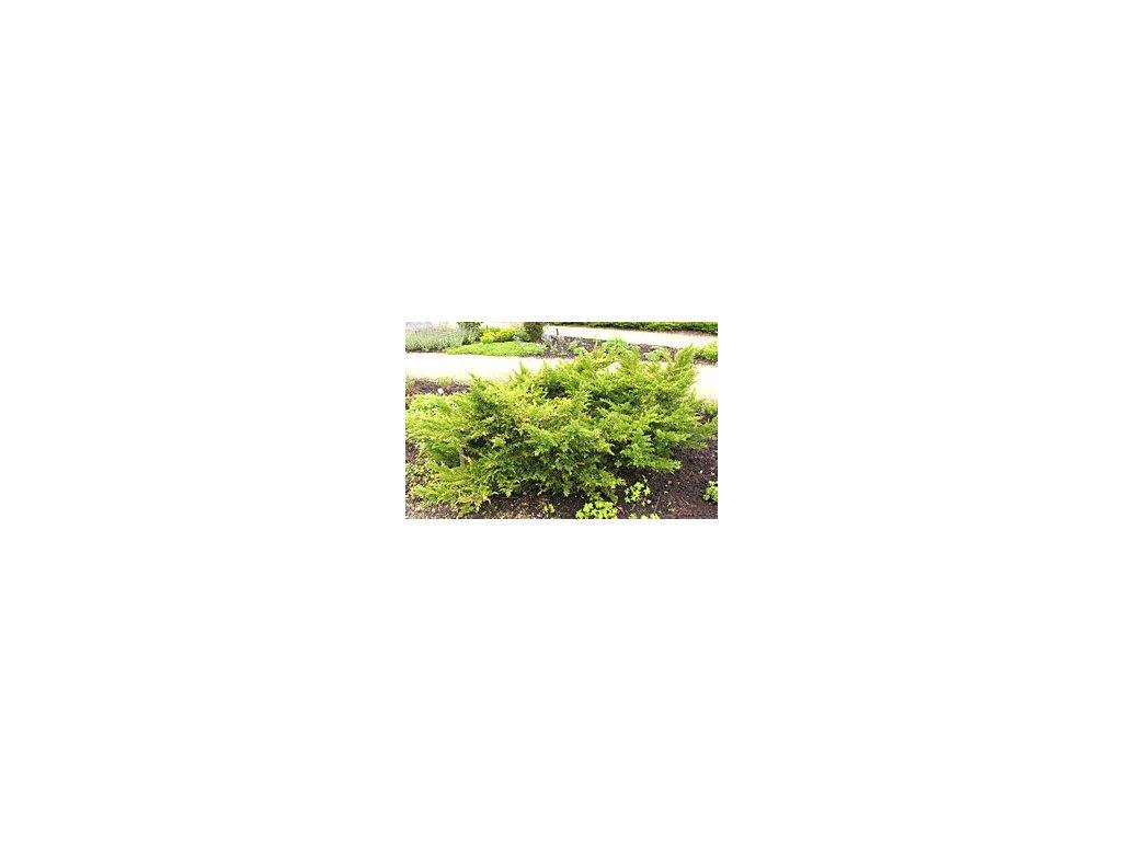Juniperus virginiana ´Tripartita´  Jalovec viržinský ´Tripartita´