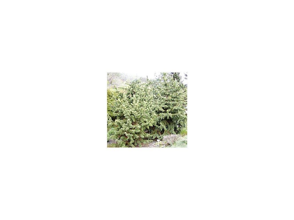 Pinus aristata  Borovice aristata