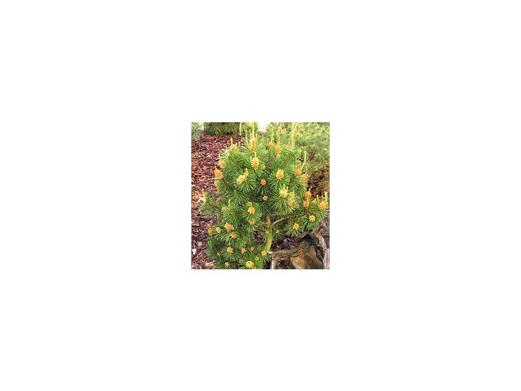 Pinus contorta 'Compacta'  Borovice pokroucená 'Compacta'