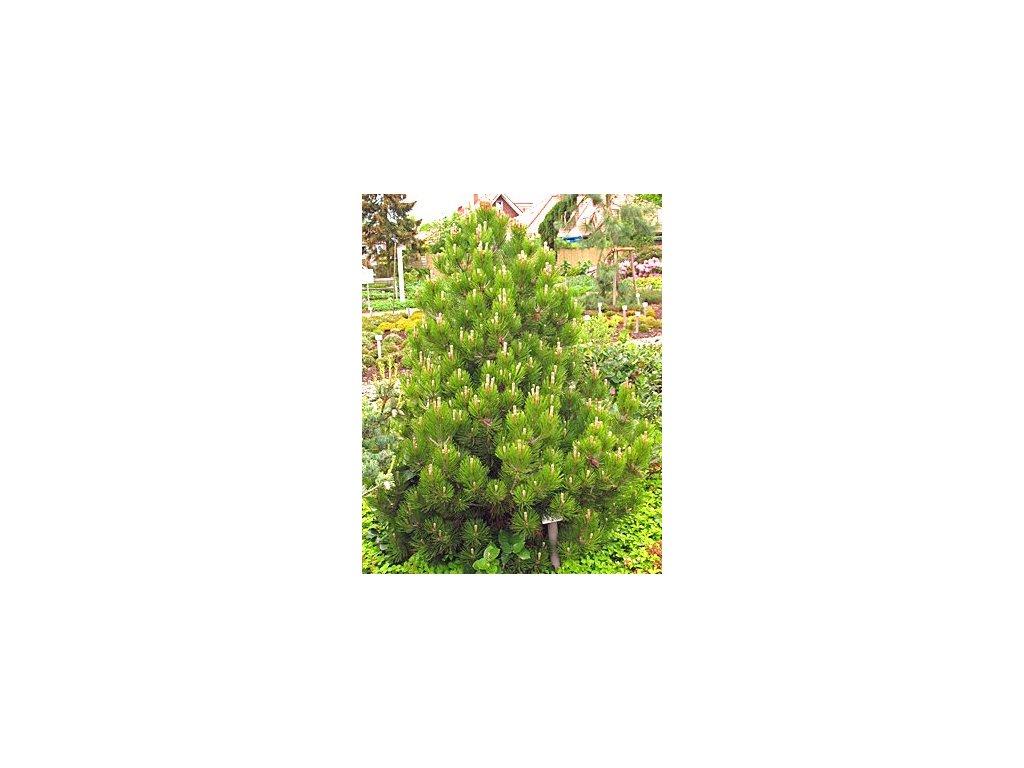 Pinus leucodermis ´Compact Gem´  Borovice pokroucená 'Compacta'
