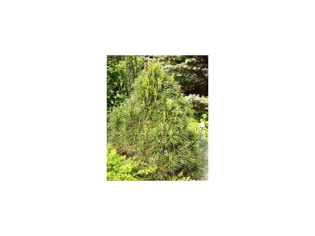 Pinus nigra 'Pygmaea'  Borovice černá 'Pygmaea'