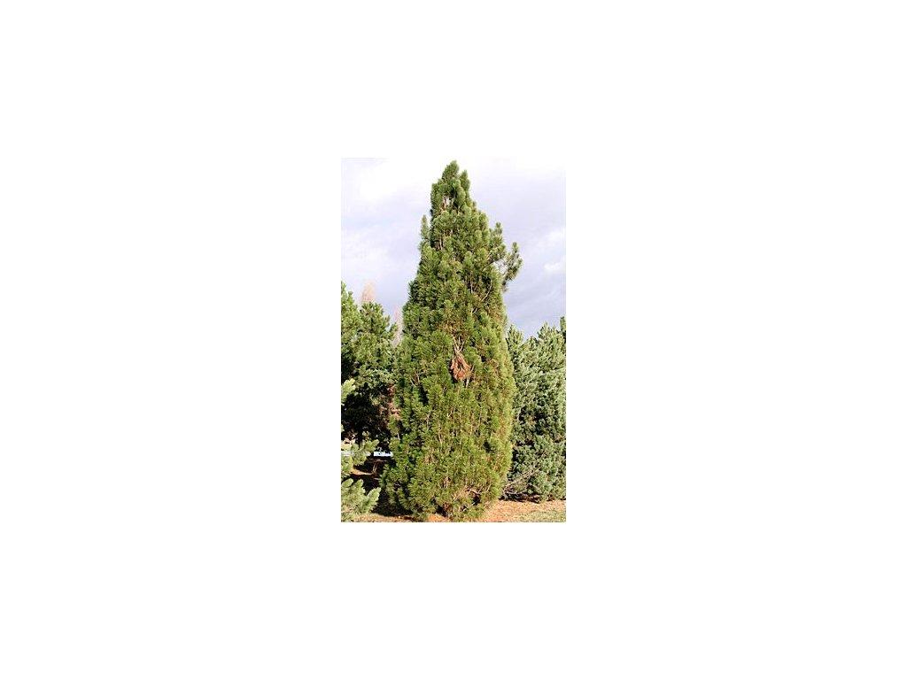 Pinus nigra 'Pyramidalis'  Borovice černá 'Pyramidalis'