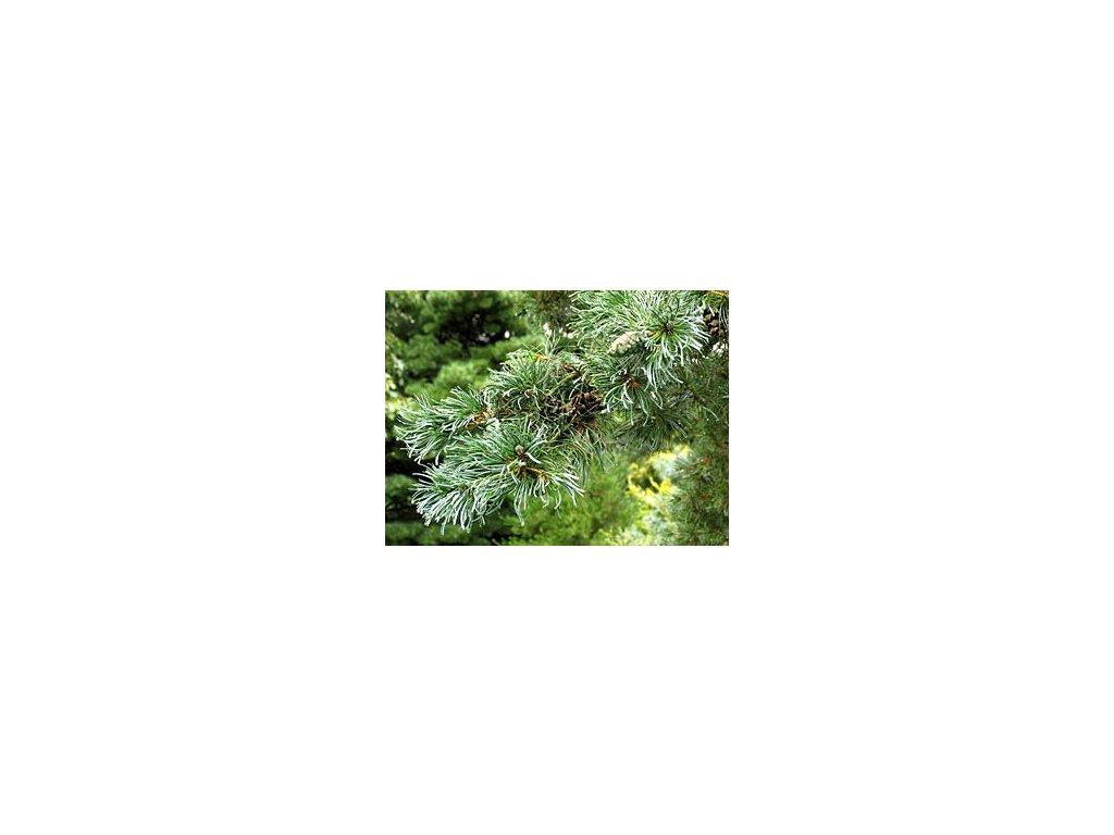 Pinus parviflora 'Glauca'  Borovice malokvětá 'Glauca'
