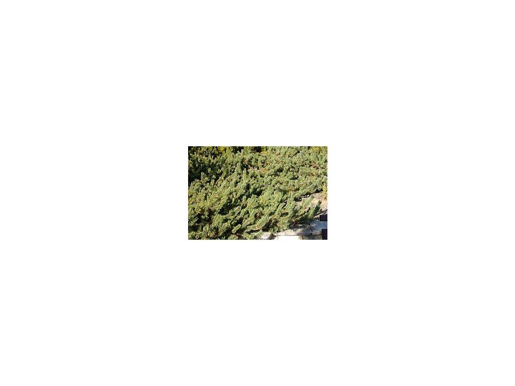 Pinus sylvestris 'Albyns'  Borovice lesní 'Albyns'